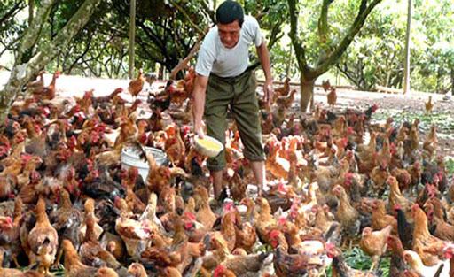 Giải pháp nào cho sự phát triển chăn nuôi gia cầm